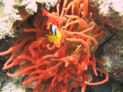Nemo and stunningly beautiful Coral